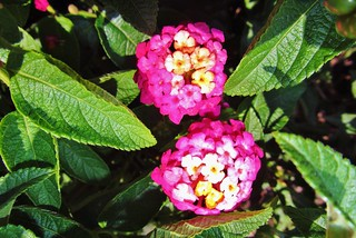 Flower Lantana  9-8-2012 | by sebastian1932