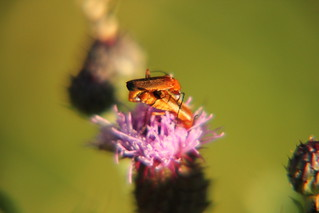 Bugs mating on a thistle | by Any Camera Will Do!!!