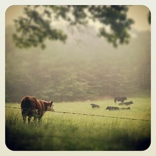 Cows and fog | by Michelle*G