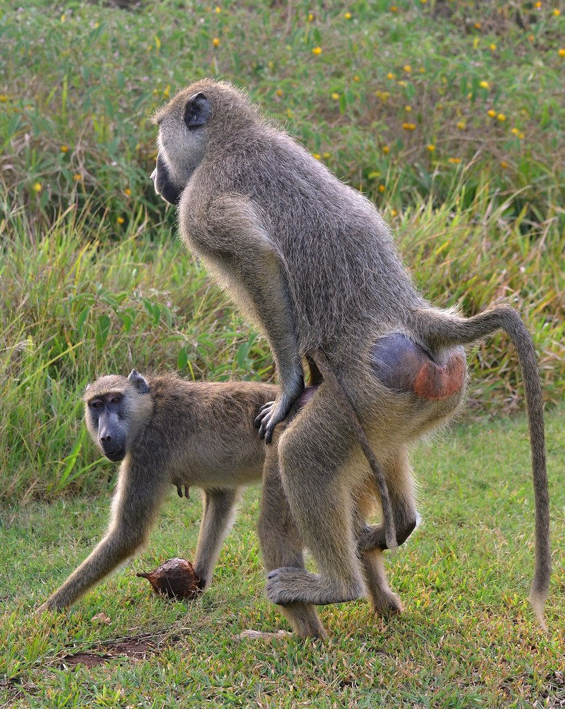 "A Baboon's Bum ""For god sake hur..."