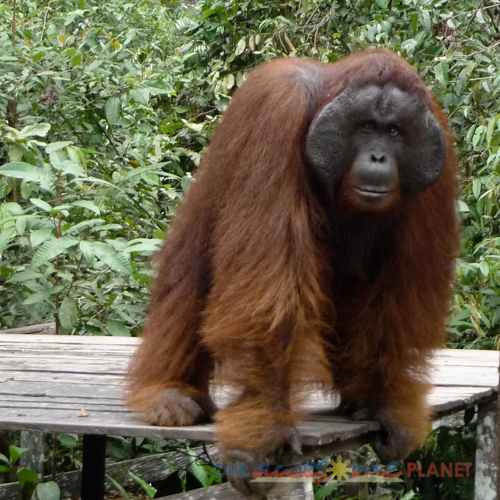 Orangutan World Tanjung Puting Borneo Adventure 181 Jpg