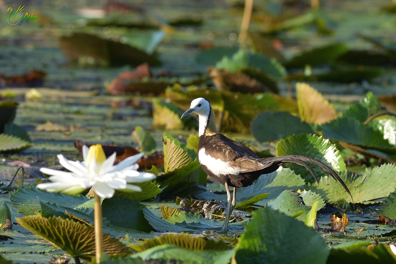 Pheasant-tailed_Jacana_2853