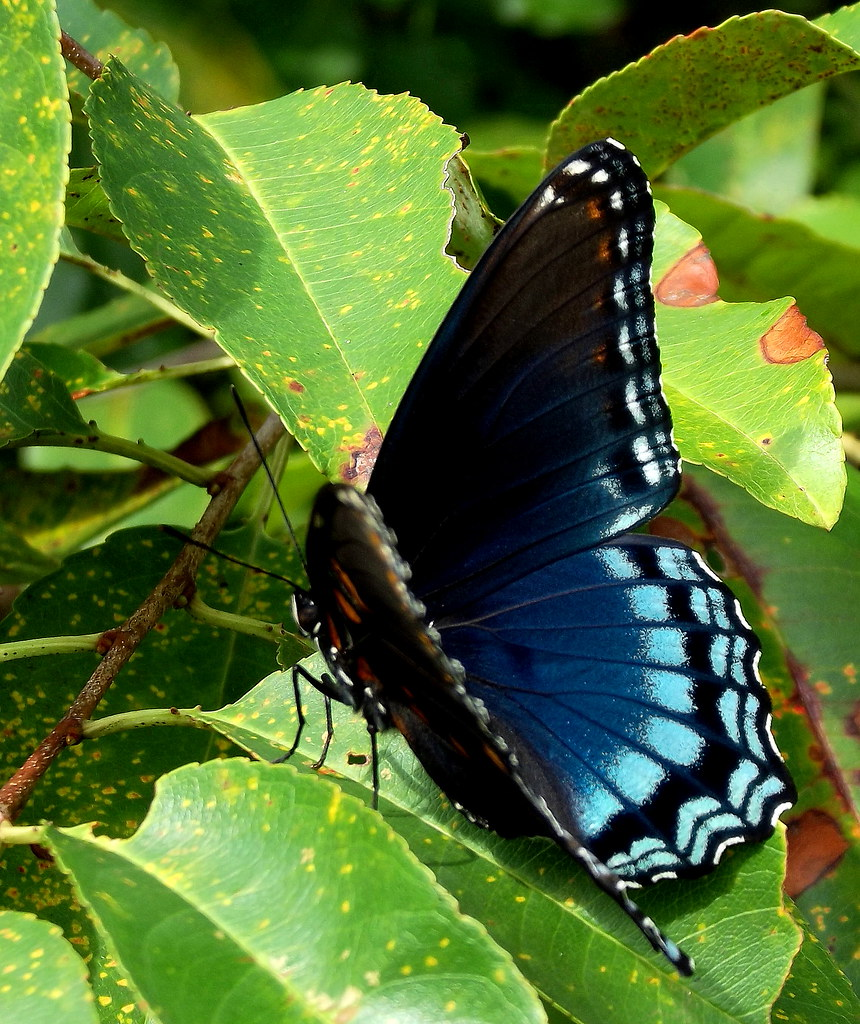 black and blue butterfly limenitis arthemis chuck