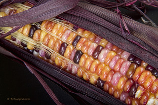 Colorful Indian Corn | by Striking Photography by Bo Insogna