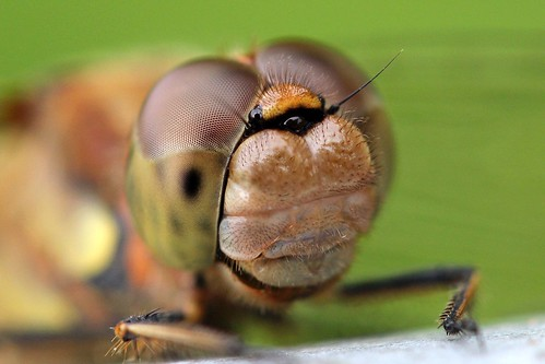 Darter Face | by Cosper Wosper
