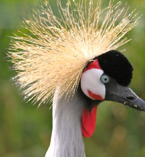 Crowned Crane | by S C photos