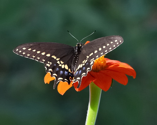 Spicebush Swallowtail on Mexican Sunflower | by thorntm