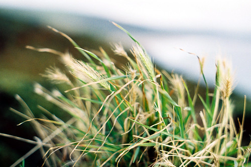 Grass on a wall Morte Point | by 35mm_photographs