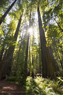 California Redwoods | by ashlynne.herrin