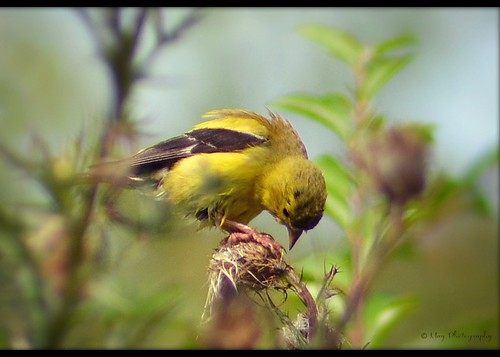 Goldfinch ~♥~ | by ஐ ~❀ ~ Sharon ~❀~ ஐ