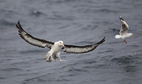 Black-browed Albatross | by Tobias Hayashi Photography