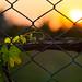 Entwined (Fence & Vine) HFF, Dalaman