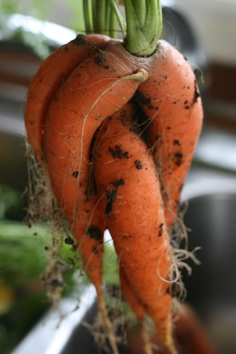 Gnarly carrots | by knittinging