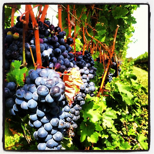 Pinot Noir almost ready to harvest at Chateau de Leelanau. | by farlane