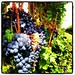Pinot Noir almost ready to harvest at Chateau de Leelanau.
