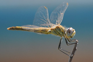 DARTER  [MARMARIS] | by DEGSY P. (D.Phillips Photography)