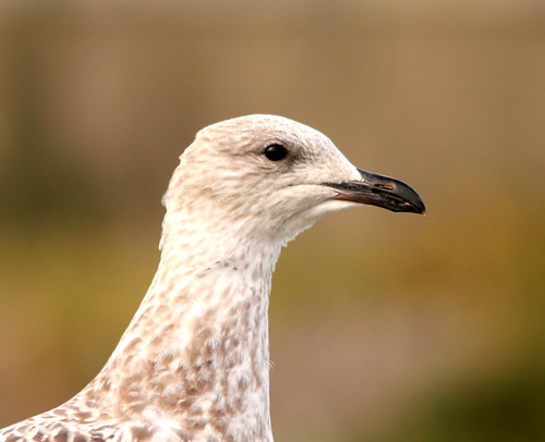 herring gull juvenile | by ruth eastwood