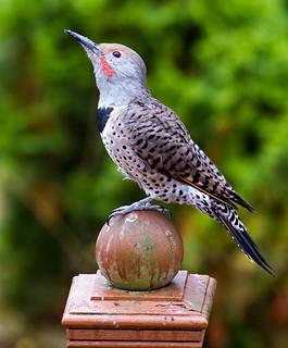Northern flicker | by Peter Bangayan