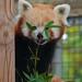 Red panda 08