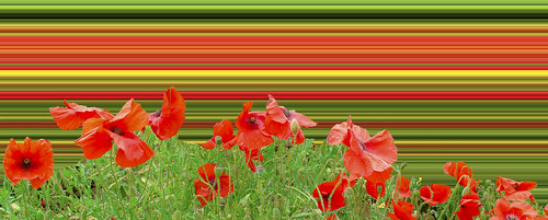 Poppy field overload. By Thomas Tolkien | by Thomas Tolkien