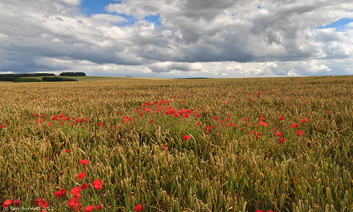 Poppies in the Corn II | by K_D_B 2 Million views. Thanks