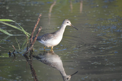 A Lesser Yellowleg - A Nature Art Print | by Stu Willard