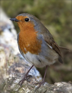 Robin | by barnowlterry