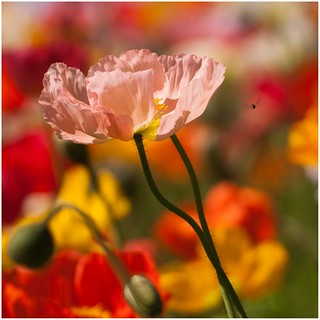 Pink Poppy | by Brian Aston