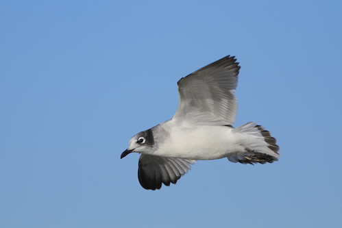 Franklin's Gull | by Travis Mahan
