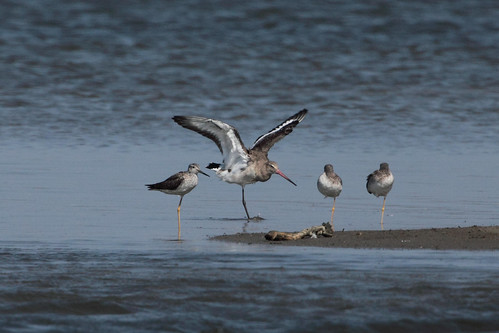 Black-tailed Godwit | by D Welch