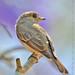 Brown-streaked Flycatcher / Williamson's Flycatcher