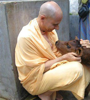 Radhanath Swami with the calf | by Vrajacandrika