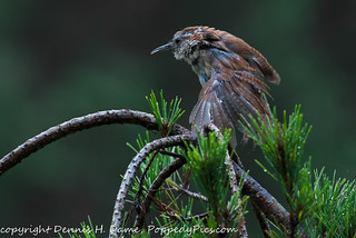 Wern Bird Flexing his Wing | by PoppedyPics