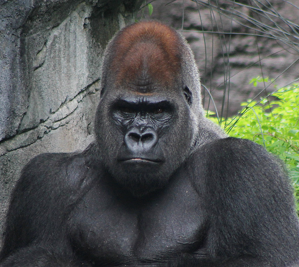 Gorilla mad - photo#13