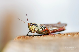 Hi !! I'm a grasshopper from Milwaukee Wisconsin :) | by Nguyen61Photography