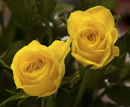Yellow Roses | by J1M_B1