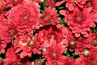 Lots Of Red Fall Mums In Colour 002 | by Chrisser