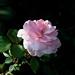 Rosa 'Bonica' Sw 9-22-12 3872 lo-res