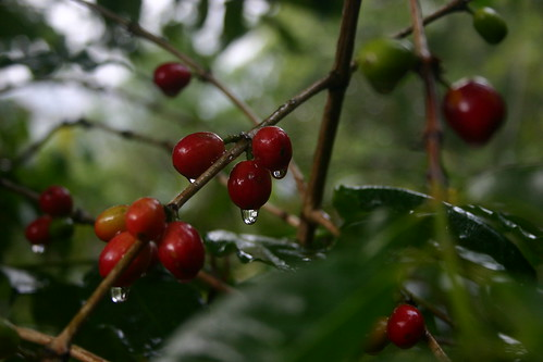 Typica after a rain shower. | by Dallis Bros. Coffee