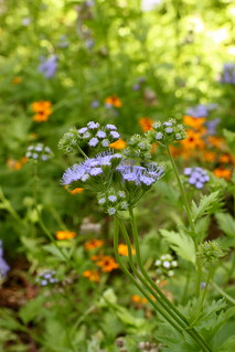 Gregg's Blue Mistflower | by hotcakesSL