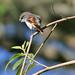 Little Minivet (Pericrocotus lansbergei)