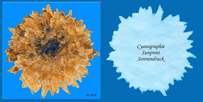 Cyanographie - Sunprint - Sonnendruck ... einer großen, gepressten Blüte ... Brigitte Stolle 2016