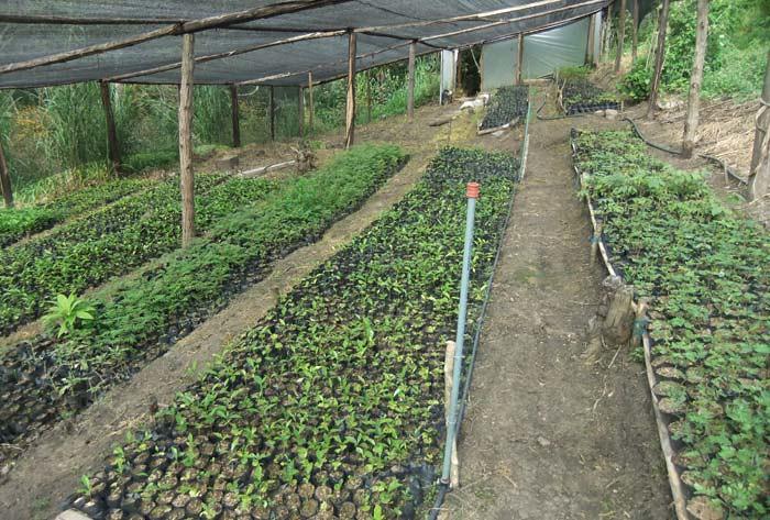 Producci n de plantas nativas en viveros para proyectos de for Produccion de viveros