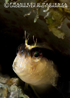 Blenny - 9647 | by Francesco Pacienza - Getty Images Contributor