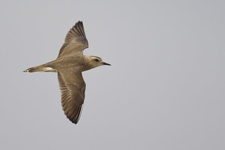 Oriental Plover - Charadrius veredus - Дорнотын хиазат - Adult Female In Flight | by Paul B Jones