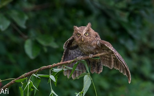 Formosan Mountain Scops Owl 黃嘴角鴞 | by Afi Chen