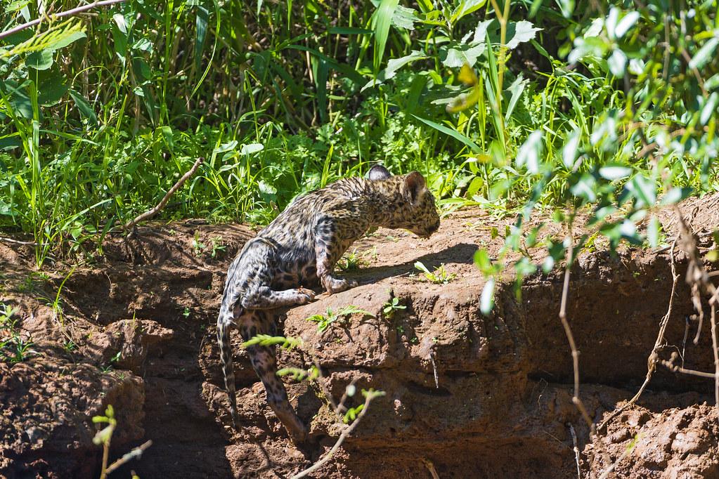 Jaguar Climbing Jaguar Cub Climbing