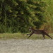 Bobcat fleeing 20121005