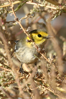 Hermit Warbler at Last Chance, Colorado (Washington County) - October 8, 2012 | by Vireo's