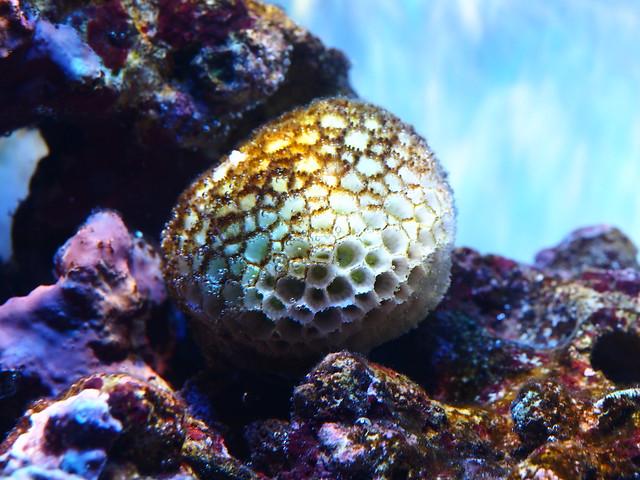 P9060214 石頭花珊瑚